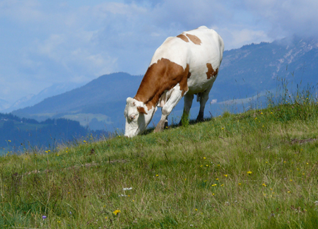 There are lots of cows in the Alps.