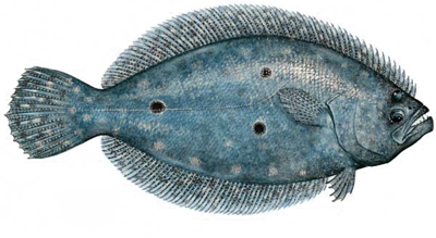 little known facts about the flounder metamorphosism