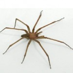 This year's judge: the Hobo Spider