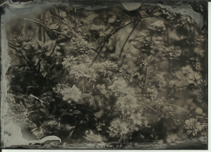 Kerria japonica, full sun, 4 seconds at f11. 13x18cm (5x7 in) black aluminum
