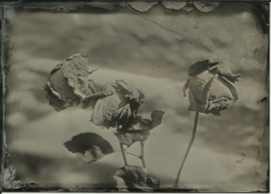 Roses (dry), aluminum foil background, full sun. f11, 4 seconds. Wet plate collodion on black aluminum, 13x18cm (5x7 inches).