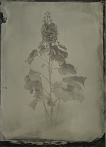 Red hollyhock, 13x18cm black aluminum, Lea's portrait collodion, f3.5 2-3 seconds, normal developer 8-10 seconds.