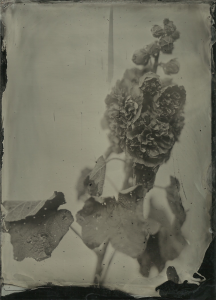 Red hollyhock, 13x18cm black aluminum, Lea's portrait collodion, f4, 3 seconds, sugar developer 10-12 seconds.