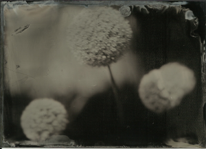 Allium, direct late morning sun. f3.5, 3 seconds (flowers moving slightly due to very light breeze. Bohemia collodion, sugar developer 12-15 seconds.