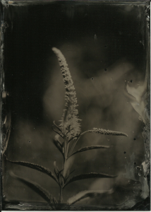 Bluish-purplish flower in my backyard. Bees like it. Maybe some kind of echium? Bohemia collodion, f3.5 or f4, about 3 seconds, cloudy/rainy (the black spots are from raindrops that hit the plate after I'd poured the collodion but before I sensitized it. Regular developer, 15 seconds. I'm not crazy about the composition, but I was in a hurry because it started raining pretty hard. As soon as I had put everything back into the house the rain stopped and the sun came back out.