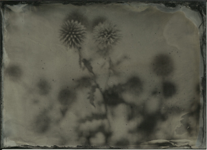 Thistles. F3.5, 1 second, Lea's portrait collodion, shade, hot day.