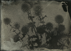 Thistles. F32, 80 seconds, Lea's portrait collodion, shade, hot day.